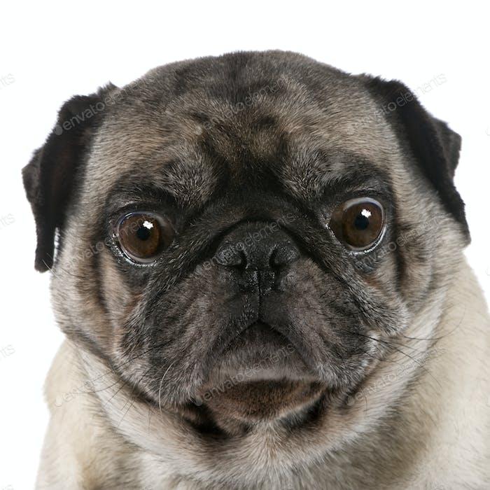 pug (6 years)