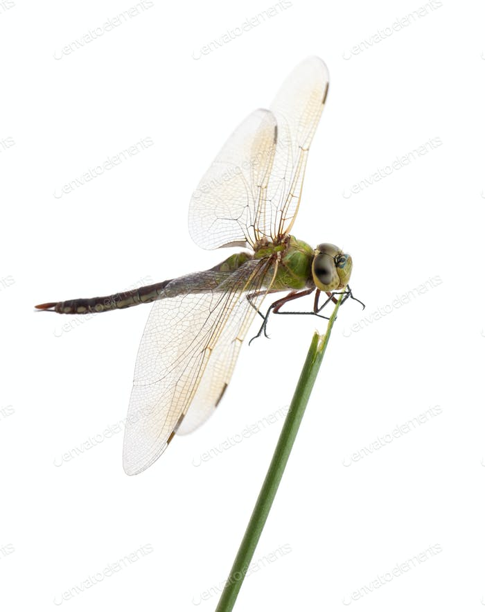 Old Emperor dragonfly, Anax imperator, on blade of grass in front of white background