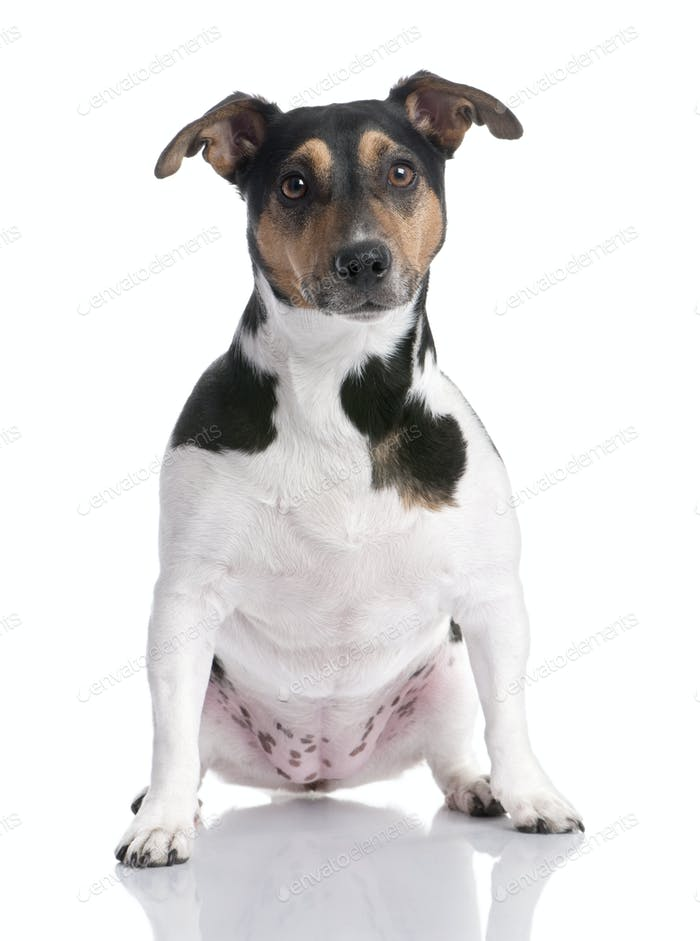 brown, black and white Jack russell sitting (2 years old)