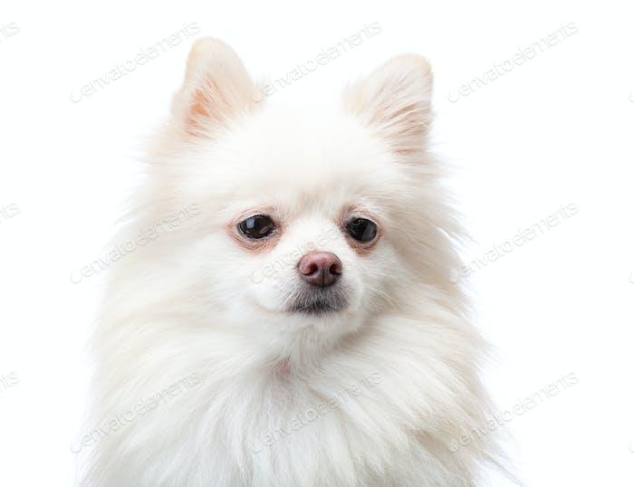 Perro pomeraniano blanco