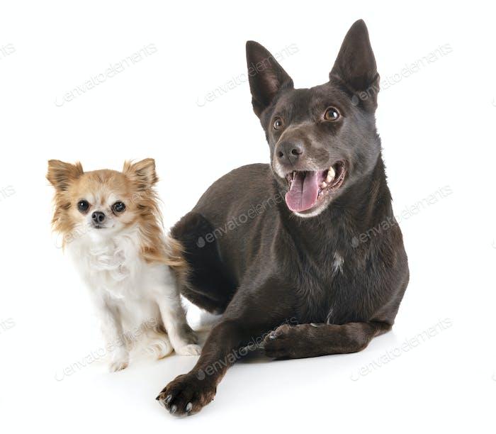 Australian Kelpie and chihuahua
