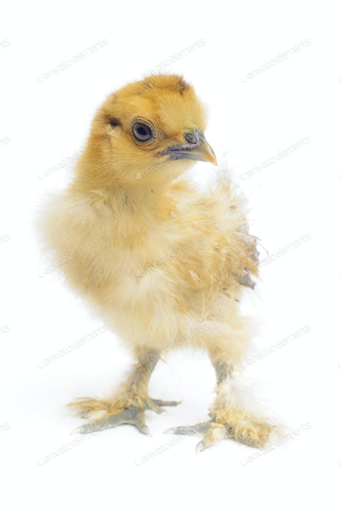 gallus gallus domesticus, silky chicken
