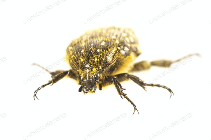 Beetle (Oxythyrea funesta) on a white background