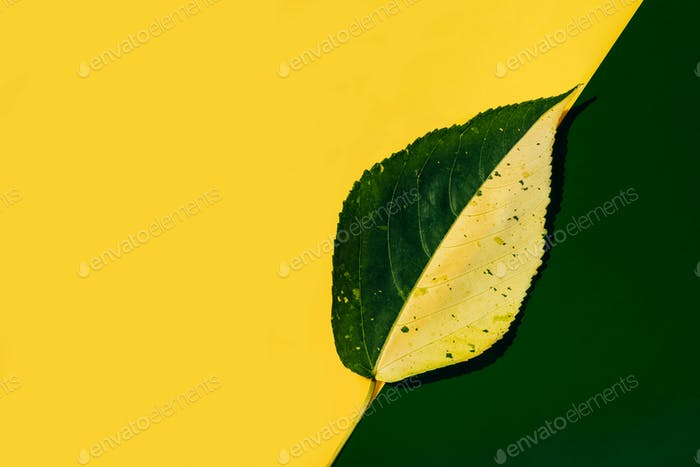 Half green and yellow leaf on green and yellow background, colorful foliage