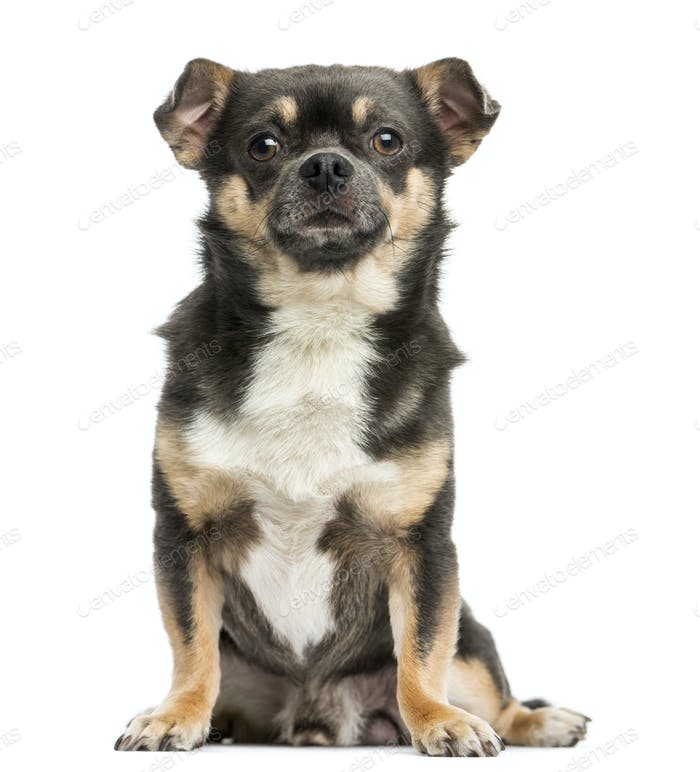 Front view of a Chihuahua sitting, 4 years old, isolated on white
