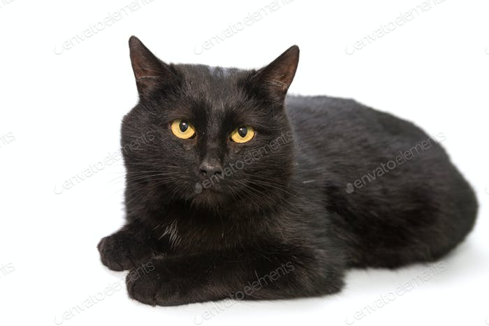 Black cat lying on a white background