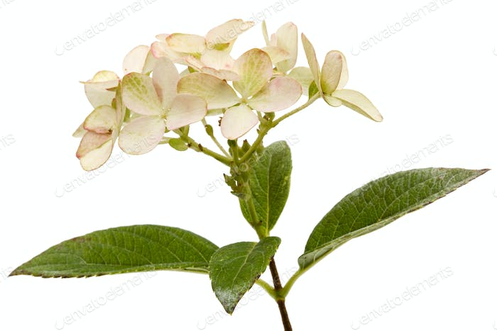 Inflorescence of hydrangea, lat. Hydrangea paniculata, isolated