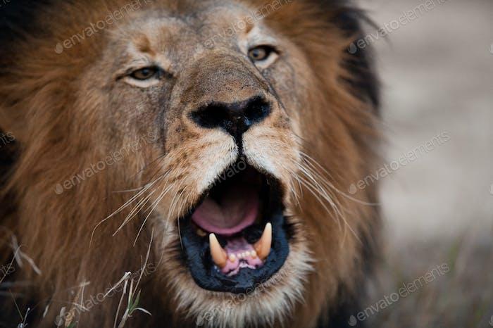 Löwe bellend