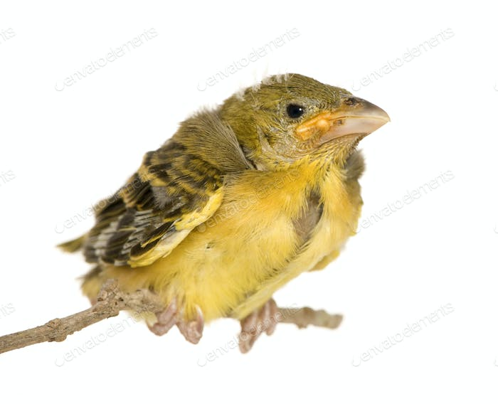 Young Village Weaver