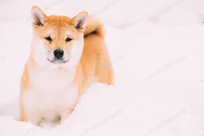 Junge japanische kleine Größe Shiba Inu Hundespielzeug im Freien im Schnee, Sn