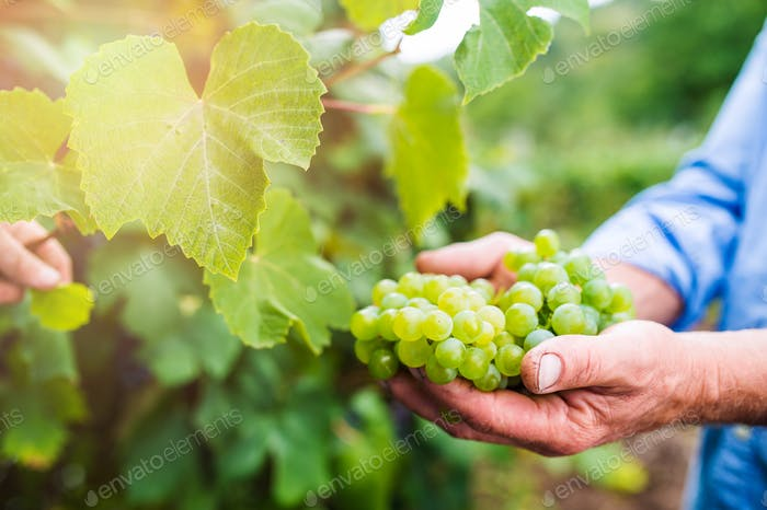Senior man in blue shirt harvesting grapes in garden