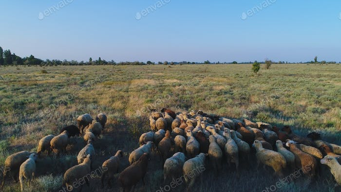 Flock of wild sheep