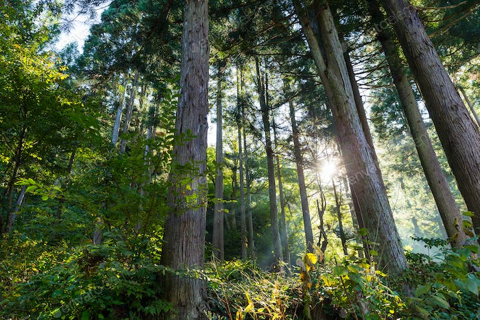 Forest with sunlight
