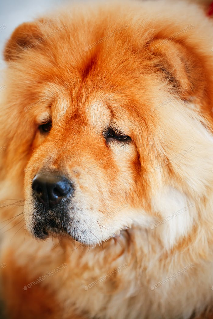 Brown Chines Chow Chow Hund