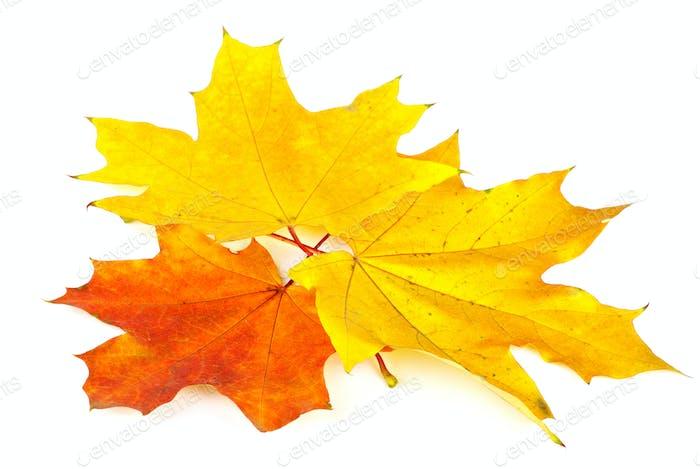 Three mapple leaves