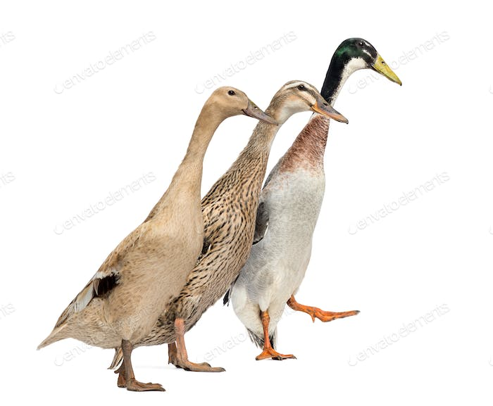Side view of three Ducks in a race, isolated on white