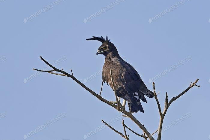 Langkopfadler (Lophaetus occipitalis)