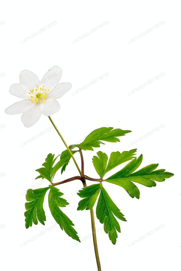 windflower (Anemone nemorosa) on a white background