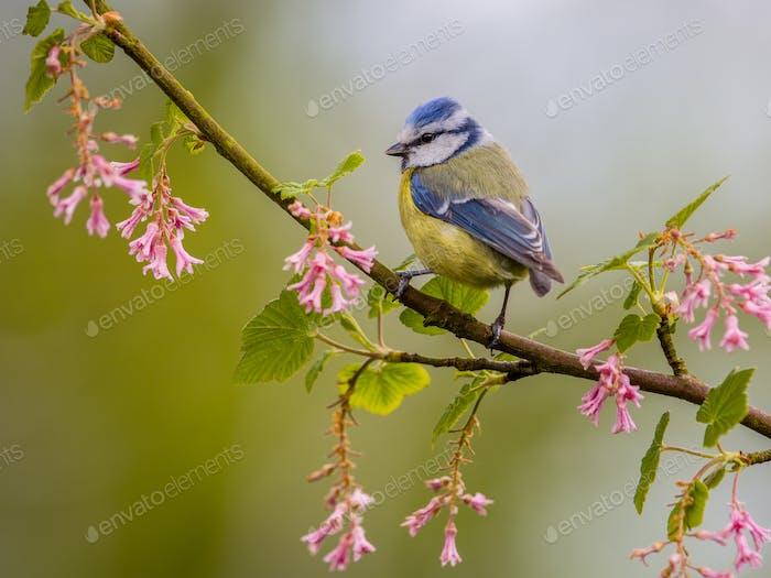 Blue tit blossom twig