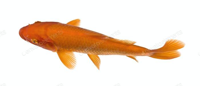 top view of a red fish : Orange Koi - Cyprinus carpio