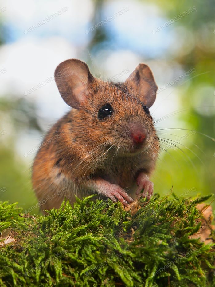 Field Mouse (Apodemus sylvaticus) in a forest