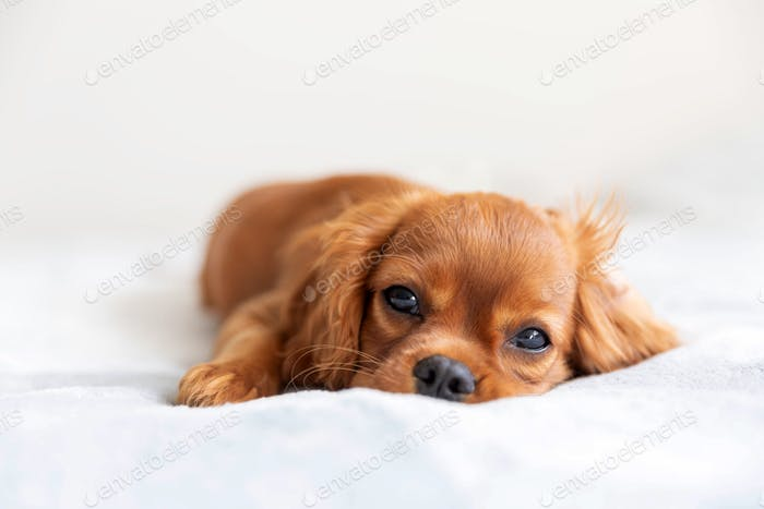 Cute cavalier spaniel relaxing