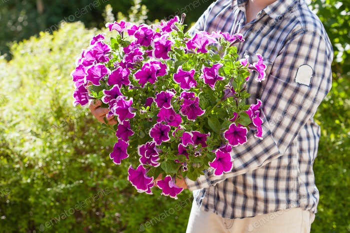 man gardener holding petunia flowers in flowerpot in garden