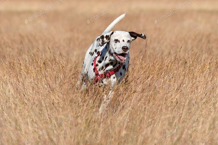 Running Dalmatian dog
