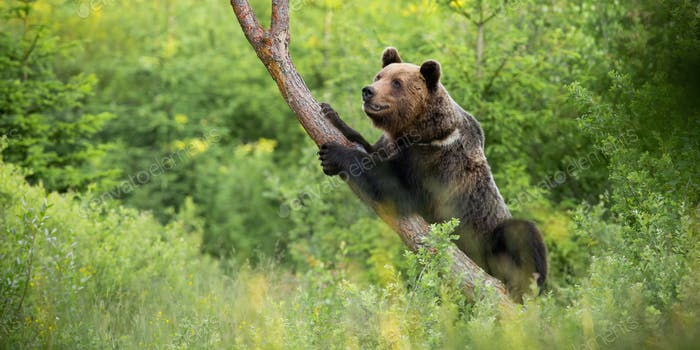 Magnificent brown bear climbing on tree in summer