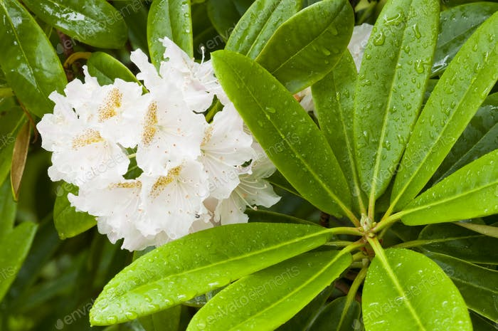 Azalea White Flowers