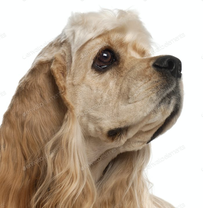 Close-up of American Cocker Spaniel puppy, 1 year old, in front of white background