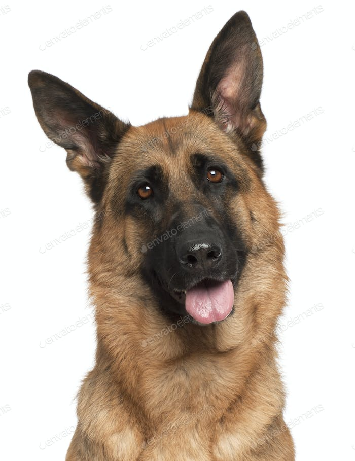 Close-up of German Shepherd Dog panting, 3 years old, in front of white background