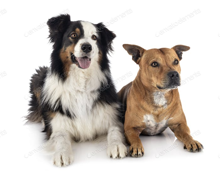 australian shepherd and staffie