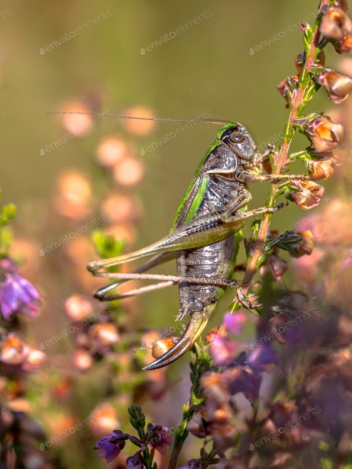 Adult Female Bog Bush-cricket on heather