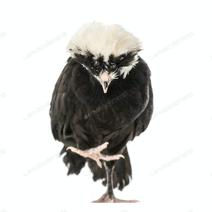 Polish chicken looking down, isolated on white, 2 years old