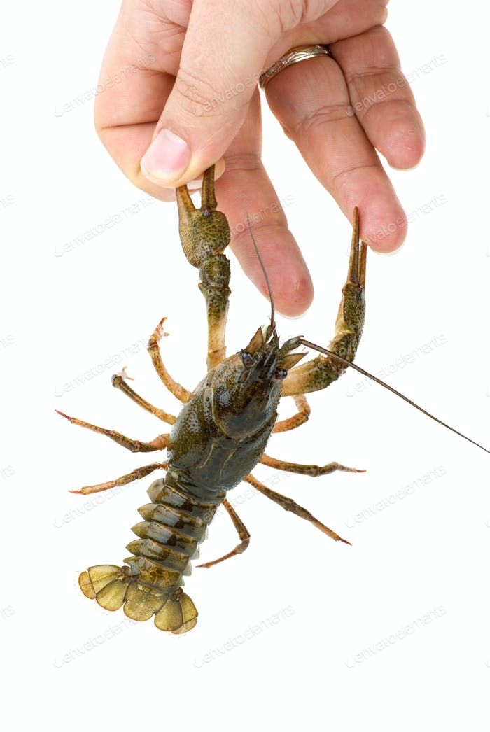 Crawfish seized the finger by claws