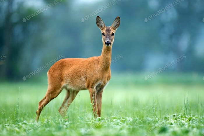 Wild female roe deer standing in a field and looking at the camera