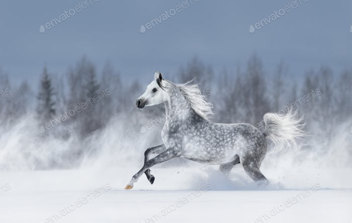 Grey arabian horse galloping during snowstorm