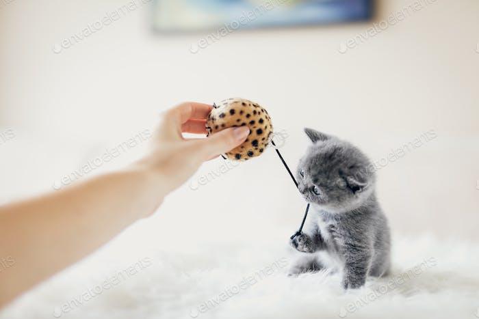 winziges graues Kätzchen in einer verspielten Stimmung