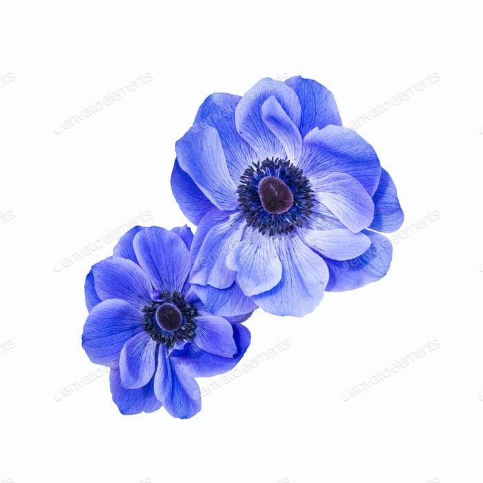 blue anemone coronaria isolated