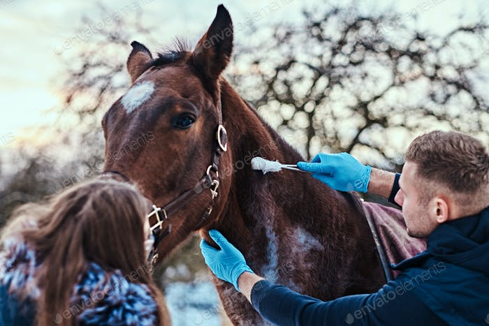 A veterinary man treating a brown purebred horse in an outdoor ranch