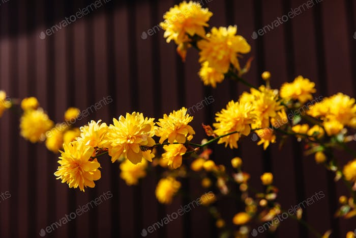 yellow flowers blossom in spring time.