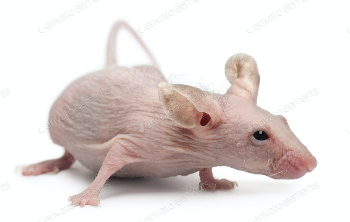 Hairless House mouse, Mus musculus, 3 months old, in front of white background