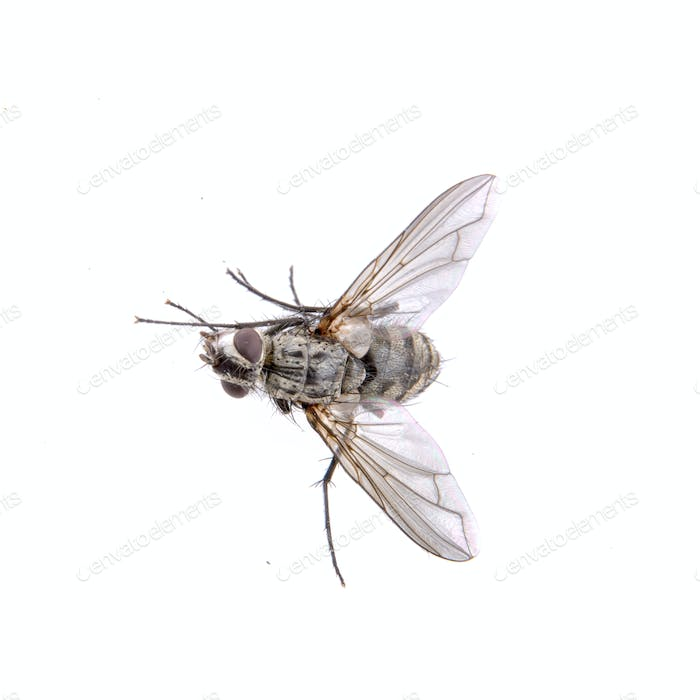 Grey fly on a black background