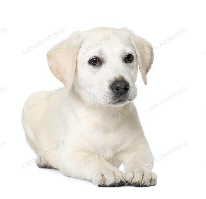 Labrador puppy (4 month old)