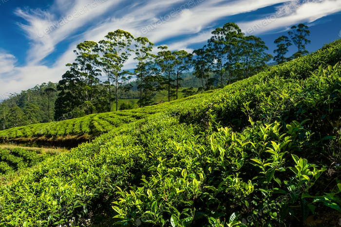 Tea plantations in Nuwara Eliya at sunset. Travels in Sri Lanka