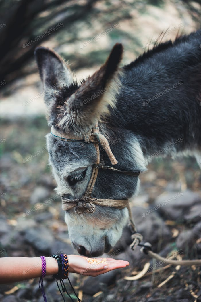 Close up of a woman hand feeding a donkey. Mammals, animals and nature concept