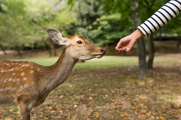 Feeding the deer