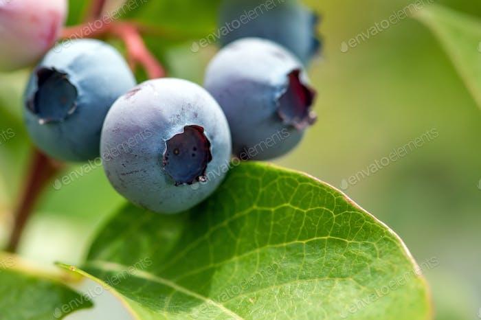 Fresh organic blueberries on the bush