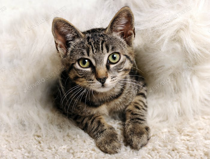 grey little kitten